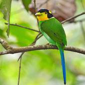 Dlouho - sledoval broadbill ptáci — Stock fotografie