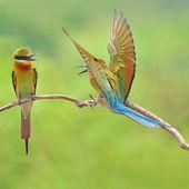 Pássaro abelharuco — Foto Stock