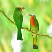 Red-bearded Bee-eater bird — Stok fotoğraf