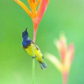 Beautiful Sunbird — Stock Photo
