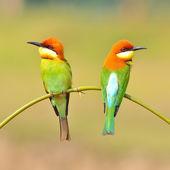 Bee eater Bird — Photo