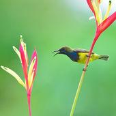 Beautiful Sunbird — Photo