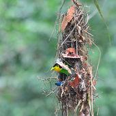 Lång - tailed brednäbb fåglar — Stockfoto