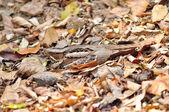 Large-tailed Nightjar Bird — Stock Photo