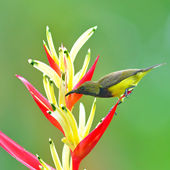 Beautiful Sunbird — Stock Photo