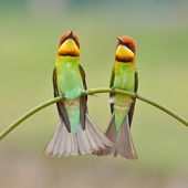 Bee eater Bird — Stock Photo
