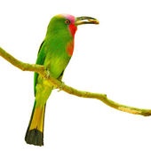 Red-bearded Bee-eater bird — Stock Photo