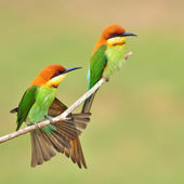Couple of Bee eater Bird — Stok fotoğraf