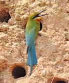 Blue-tailed bee-eater bird — Stock Photo