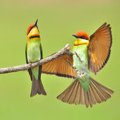 Bee eater Bird — Stockfoto