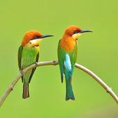 Couple of Bee eater Bird — Stock Photo