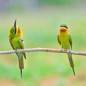 Blue Tailed Bee Eater — Stock Photo