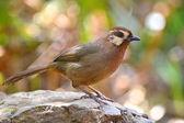 白眉: 鸟 — 图库照片