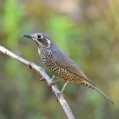 Chestnut-bellied Rock-Thrush bird — Stock Photo