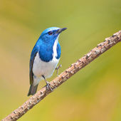 Ultramarine Flycatcher — Stock Photo