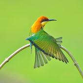Uccello mangiatore di ape — Foto Stock