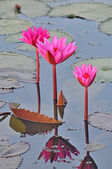 Pink water lilies — Stock Photo