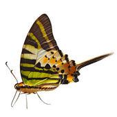 Fivebar Swordtail butterfly — Stock Photo