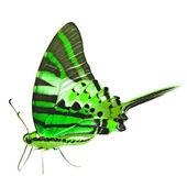 Green Butterfly — Foto de Stock