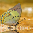 Stock Photo: Jewelled nawab butterfly