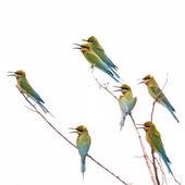 Blue-tailed Bee-eater bird — Foto de Stock