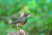 Japanese Thrush Bird — Stock fotografie