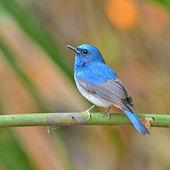 Hainan Blue Flycatcher bird — Stock Photo