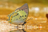 Jewelled nawab butterfly — Stock Photo
