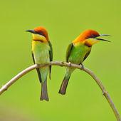 Bee eater Bird — Foto de Stock