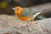 Orange-headed Thrush bird — Stock fotografie