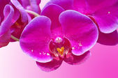 Pink orchid — Stockfoto