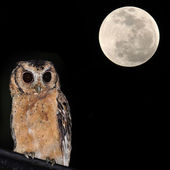 Collared Scops Owl — Stockfoto