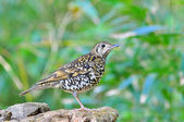 Scaly Thrush Bird — Stock Photo