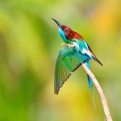 Blue throated Bee eater — Стоковое фото