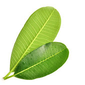 Frangipani leaf — Stock Photo