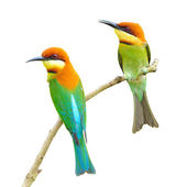 Bee eater Bird — ストック写真