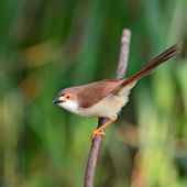 Yellow-eyed Babbler bird — Photo