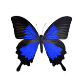 Beautiful Black and Blue butterfly — Stock Photo