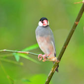 Java sparrow uccello — Foto Stock
