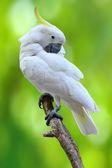 Sulphur crested Cockatoo — Stock Photo