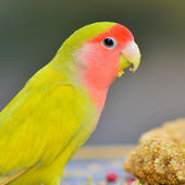 Yellow Lovebird — Stock Photo