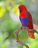 Beautiful red parrot — Stock Photo