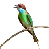 Blue throated Bee eater bird — Stockfoto