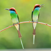 Blue throated Bee eater bird — Stock Photo