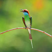 Blue throated Bee eater bird — Stock Photo