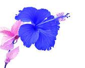 Beautiful blue Hibiscus flower — Stock Photo