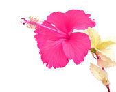 Fiore di ibisco rosa bella — Foto Stock
