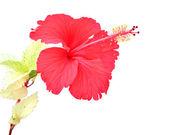 Beautiful red Hibiscus flower — Stock Photo