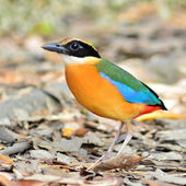 Blue winged Pitta bird — Stock Photo