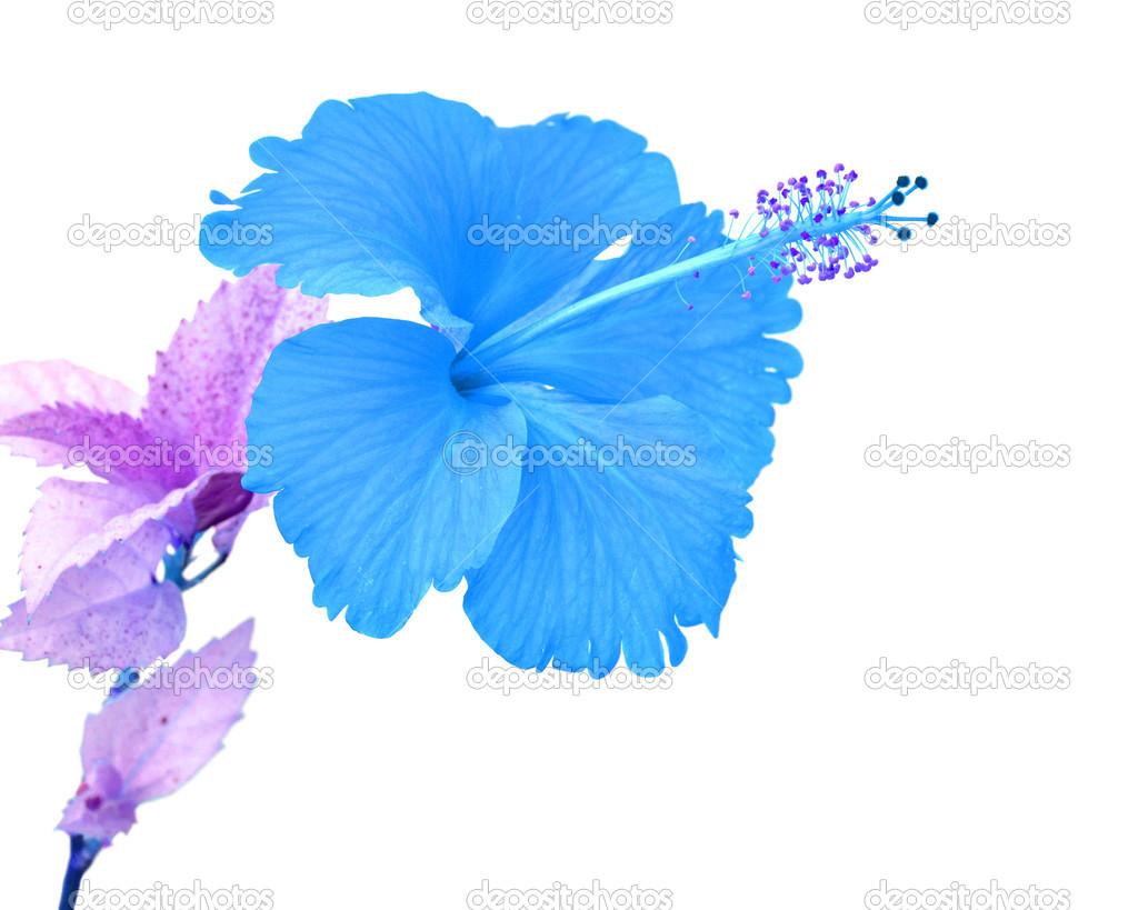 Fleur dhibiscus bleu magnifique — Photographie thawats © #46307903